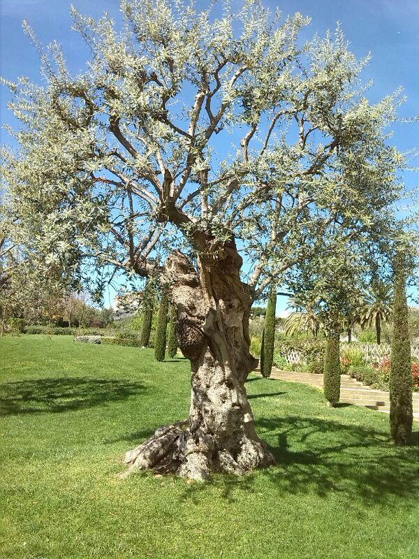 Olive tree in a public garden