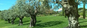 The olive tree as a garden plant