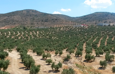The market of olive oil in Spain
