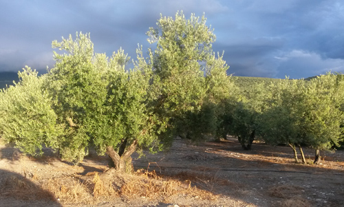 The olive tree: a tree with strong symbolism